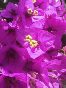 Bougainvillea-detail